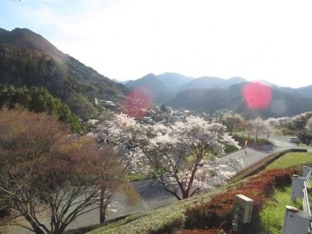 星野村 桜 2019-04-05 021