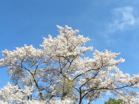 星野村 桜 2019-04-05 011