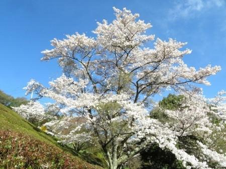 星野村 桜 2019-04-05 010