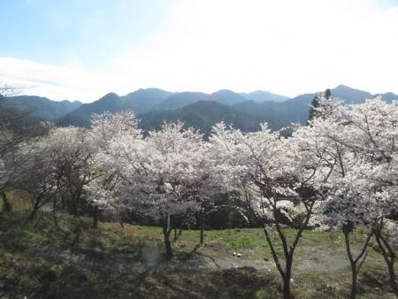星野村 桜 2019-04-05 042