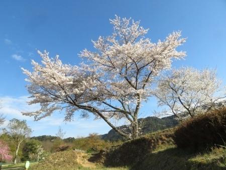 星野村 桜 2019-04-05 038
