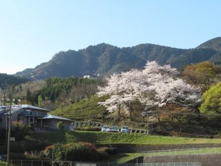 星野村 桜 2019-04-05 023
