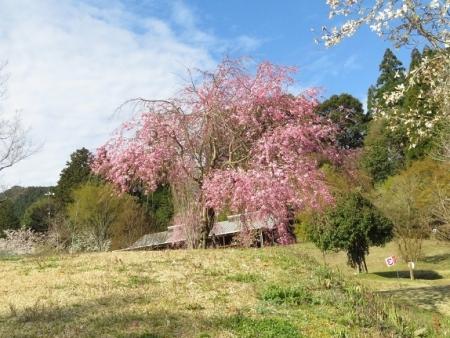 星野村 桜 2019-04-05 050