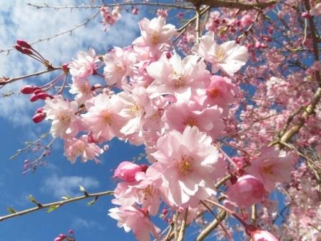 星野村 桜 2019-04-05 035