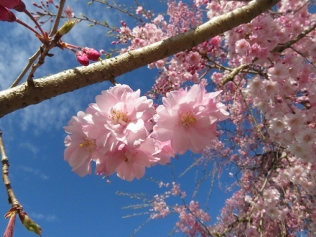 星野村 桜 2019-04-05 031