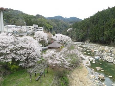 星野村 桜 2019-04-05 190