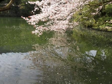 星野村 桜 2019-04-05 097