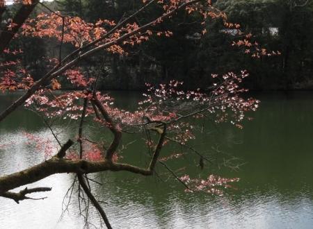 星野村 桜 2019-04-05 117