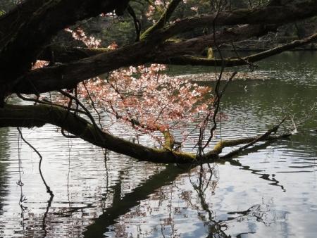 星野村 桜 2019-04-05 112