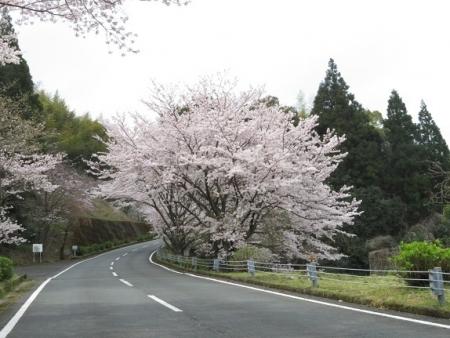桜グリーンピア 黒木 2019-03-30 009