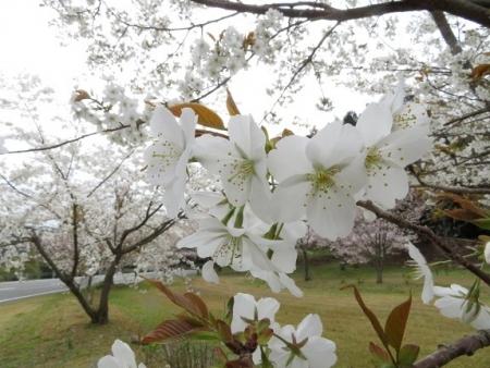 桜グリーンピア 黒木 2019-03-30 051