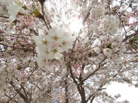 桜グリーンピア 黒木 2019-03-30 097