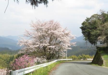 桜グリーンピア 黒木 2019-03-30 121