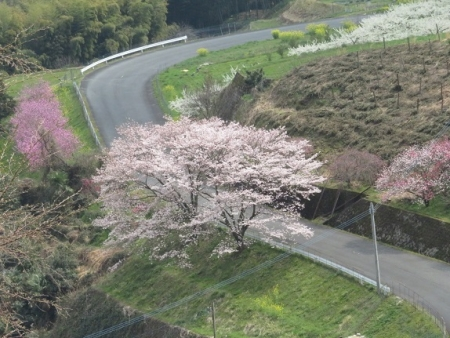 桜グリーンピア 黒木 2019-03-30 116