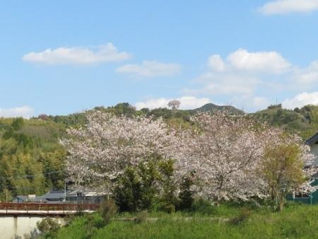 一本桜 2019-04-02 155