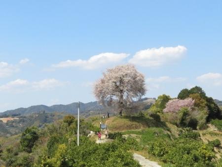 一本桜 2019-04-02 076