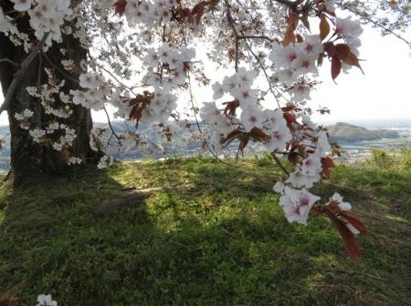 一本桜 2019-04-02 093