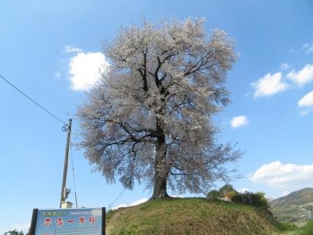 一本桜 2019-04-02 080