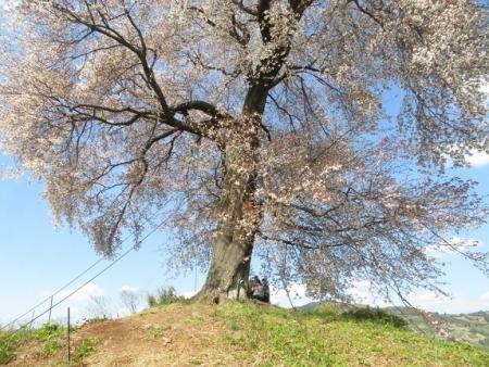 一本桜 2019-04-02 131
