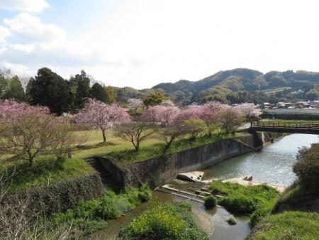 一本桜 2019-04-02 158