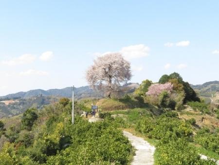 一本桜 2019-04-02 133