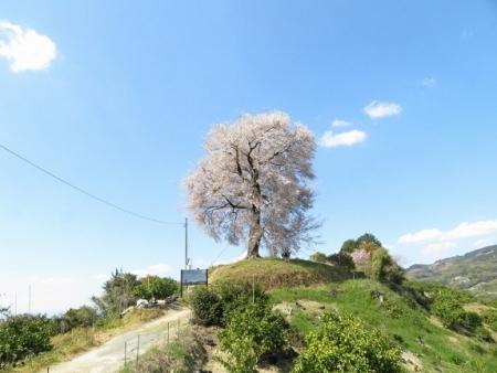 一本桜 2019-04-02 126
