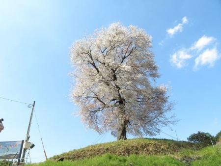 一本桜 2019-04-02 121