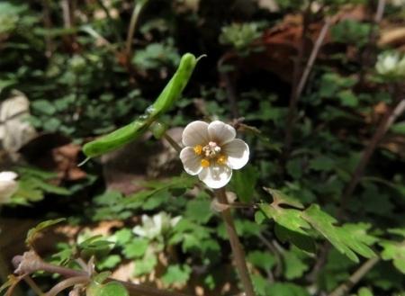花サバノオ 2019-04-15 025