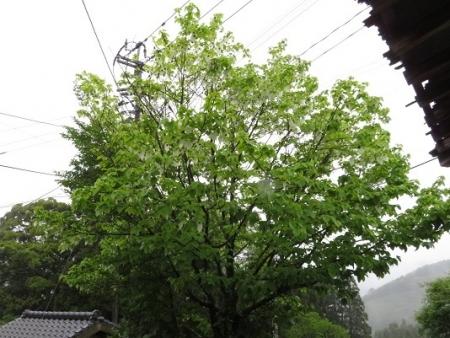 星野 ハンカチノキ 2019-04-30 077