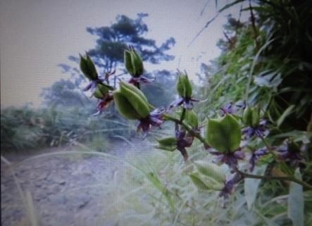 ホソバシュロソウの花と種子 2019-05-08 003