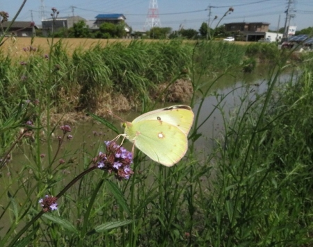 アレチハナガサと蝶 2019-05-22 066