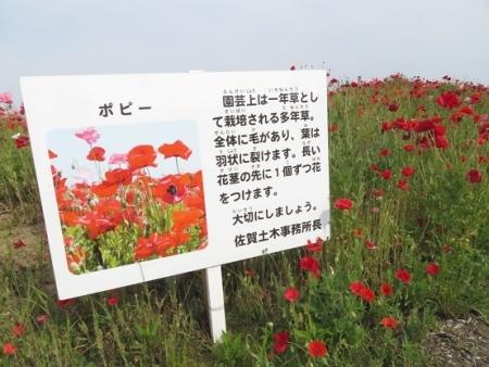 ポピーの花 2019-05-25 021