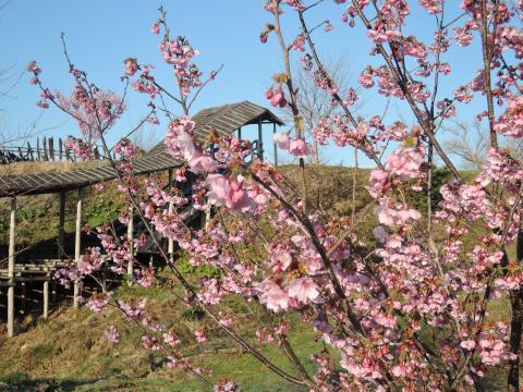 遅れる桜1