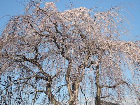 遅れる桜3