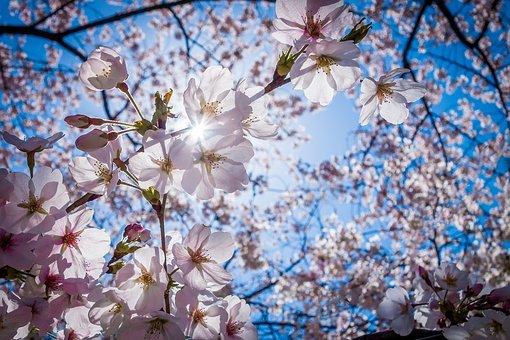 cherry-blossoms-1716763__340.jpg