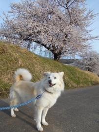 桜咲いたDSCN0091