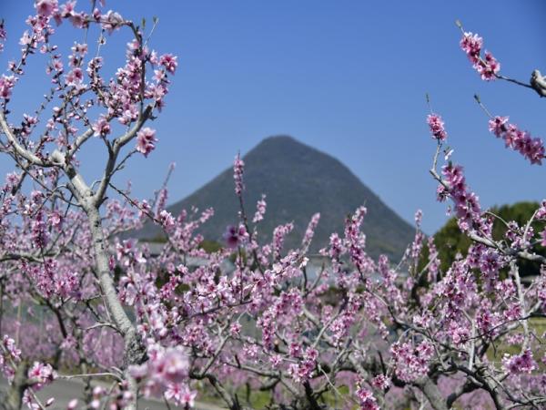 桃の花04
