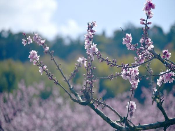 桃の花05