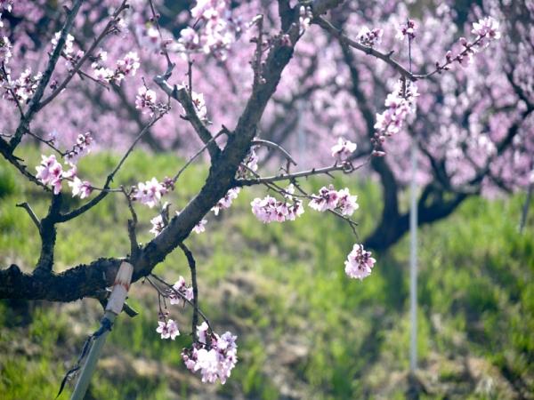 桃の花06