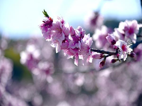 桃の花07