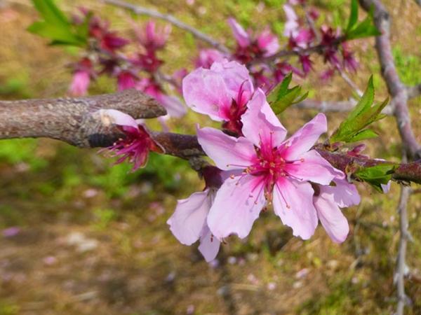 桃の花13