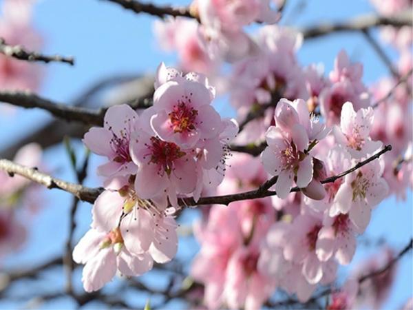 桃の花14