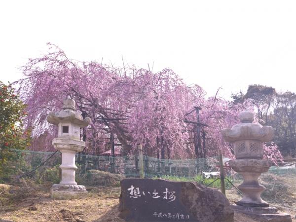 思い出桜02