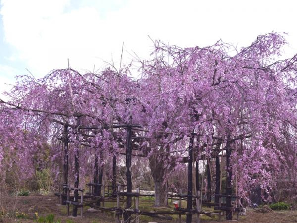 思い出桜03