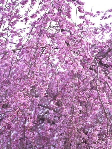 思い出桜05