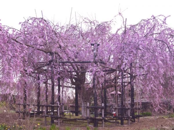 思い出桜04