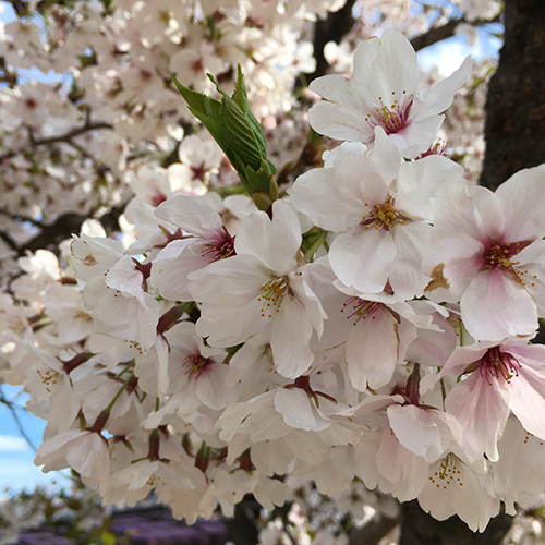 今年の桜はなかなか満開にならない①