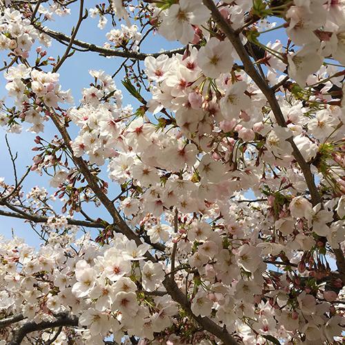 今年の桜はなかなか満開にならない②