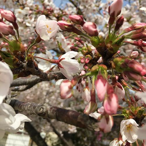 今年の桜はなかなか満開にならない③