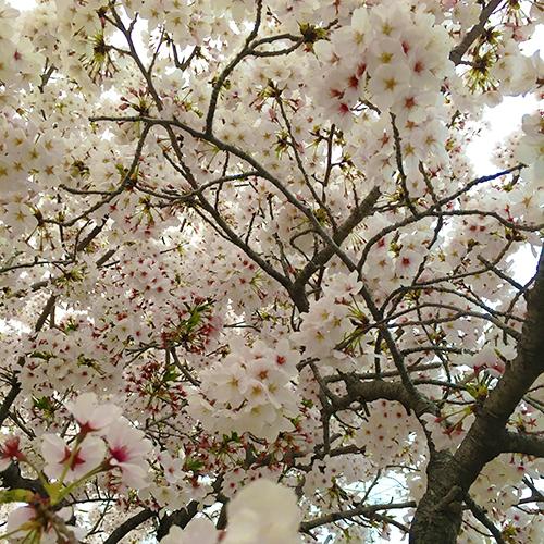桜 満開!①